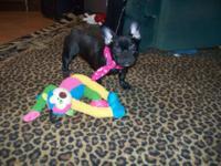ACA registered female French Bulldog. She is 5 months,