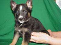 She is a gorgeous registered German shepherd female