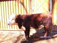 Registered Hereford Bull. 1 1/2 yrs old. Good EPDs,