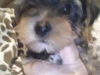 I have one female that will be 3 to 4 pounds $800 one