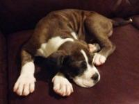 Registered Merle Alapaha Blue-Blood Bulldog Pup, 11