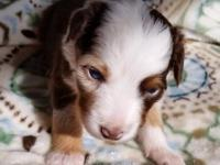 Available a Beautiful Miniature Red Merle Female , Our