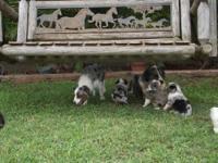 Reg. Mini Australian Shepherd pups. 2 males left. Up to