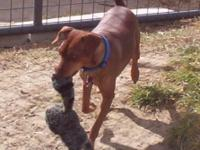 Cinnamon is a 5 year old, red miniature pinscher. He is