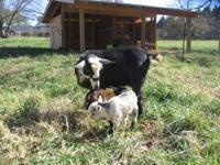 We have registered Nigerian Dairy Dwarf Goats for Sale.