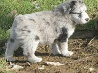 UPDATE: NEW PICS ADDED 7-21-12 I have 3 pups left from