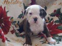 Reg Olde English Bulldog Puppies! Born Feb 9 and will