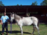 I have a 4yr old Reg. Paso Gelding. He needs some one