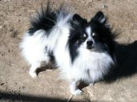 """"" ACA Reg. Pomeranians. They have their shots up to"