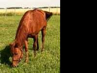 Wonderful trail horse up for sale! No vices. Appendix
