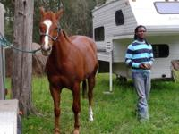 Reg Quarter horse. Rides and reins well. Great