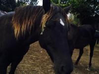 9-year-old Mare, gaited, has not been ridden in years,