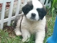 Have a litter of rough coat, registered Saint Bernard