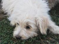 Schnoodle puppies! Born 6-12-14. Young puppies are from