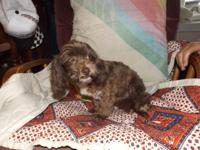 I HAVE A MALE SHIHPOO PUPPY WHO IS DREAMING TO HAVE A