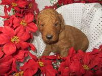 Red goldendoodles father is red standard poodle .Mother