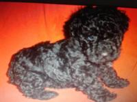 Tiny Toy poodle,male,black,UTD on shots an wormings