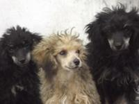 I HAVE ADORABLE LOVING POODLES LOOKING FOR THEIR OWN