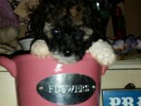 Reg. toy poodle babies! DOB 10/11/15.2 gorgeous males(