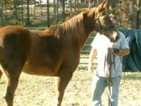 We have 3 gorgeous registered Tennessee Walking Horses