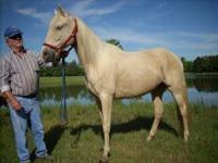 palomio mare,15 h,foaled 4/14/2006.big pretty,sound.