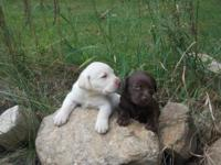 As of 7-3-14 I have just 2 white registered lab young