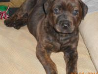 1 Puppy for sale. 1 Female Brindle, she is a mix