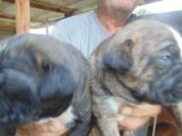 Hybrd-Register Miniature Boxer =brindle with a little