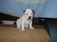 cute, healthy blue/white pit bull puppies, 7 weeks old,
