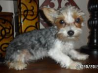 Stunning Yorkies readily available for adoption. Cobbie