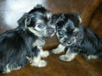 I have two female and one male yorkie will be around 5