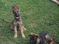beautiful AKC german shepherd puppies. First shots and