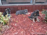 We have three german shepherd puppies, registered akc,