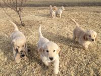 Teacup Puppies For Sale In Kansas Classifieds Amp Buy And Sell In Kansas Americanlisted