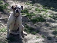 I have a 2 yr old American bulldog. Can be bred, never