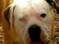 American Bulldog puppies available. These puppies are