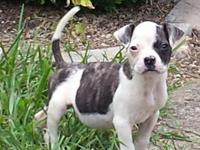 Beautiful female American Bulldog. She is smart and
