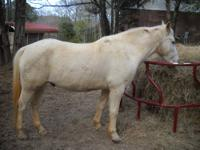 Registered American Paint Horse Association Mare - Sire