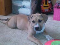 The Most Beautiful American Pit Bull Terrier Puppies