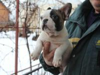 Purebred french bulldog Puppies boys are available *see