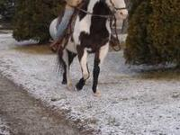 Doc Bar Blue, Registered APHA overo Gelding. Sweet as