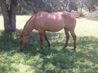 1994 Gun smoke grand daughter. BIG red dun mare. Has