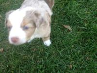 I have only 3 left ASDR mini aussie's born 9-12-15