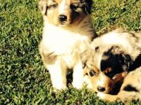 Beautiful registered ASCA full size Australian shepherd