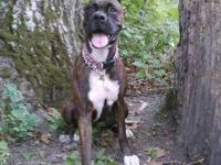Boxer puppies, I am located in springfield, mo....I