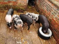 Animal Type: Berkshire pigs registered berkshire pigs,