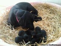 Registered Black lab puppies--1 male and 3 females