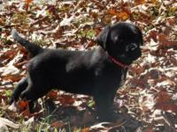 Registered black lab puppies. 4 females and 3 males