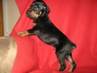 For Sale is a Black and Rust 9 week Old Male puppy. The
