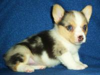 We have registered AKC/CKC/ACA blue merle welsh corgi